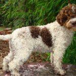 Итальянская водяная собака — описание породы, характер, уход, фото