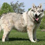 Американская индейская собака: описание породы, характер, уход (с фото)
