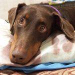 Туберкулез у собак — причины, симптомы и лечение
