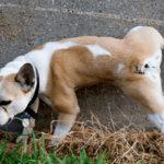 Если у собаки кровь в моче: причины и что делать