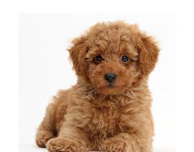 Как правильно выбрать щенка пуделя и как нужно за ним ухаживать