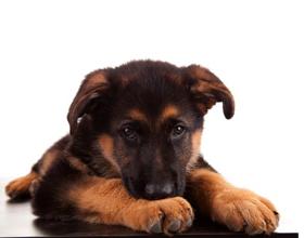 Как нужно правильно воспитывать щенка немецкой овчарки