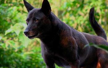 Черная тайваньская собака