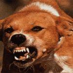 Бешенство у собаки: причины и что делать