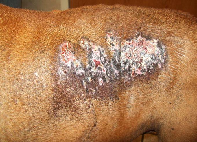Собака с кальцинозом