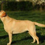 Лангедокская пастушья собака: описание породы, характер, уход (с фото)