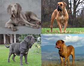 Породы гладкошерстных собак