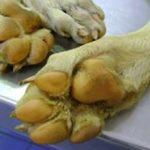 Лептоспироз у собак: причины, симптомы и лечение