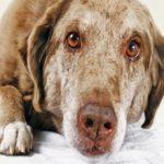 Восстановление и реабилитация собаки после пироплазмоза