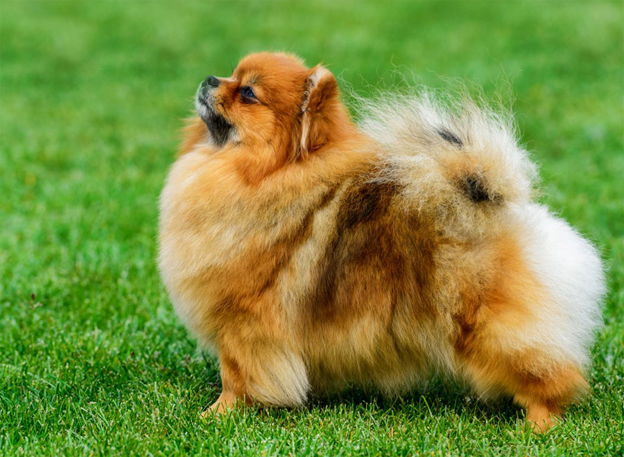 pomeranian dog breed information and pictures - 900×660