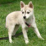 Аляскинский Кли Кай: описание, характеристика и фото