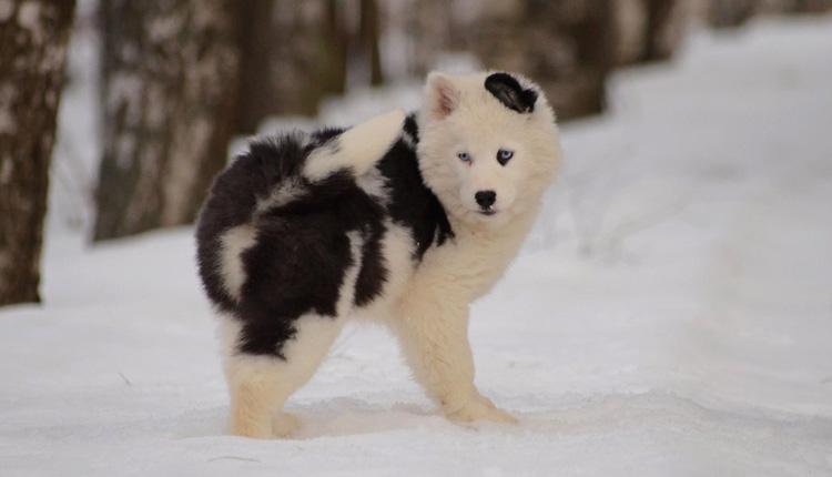 Якутская лайка в снегу