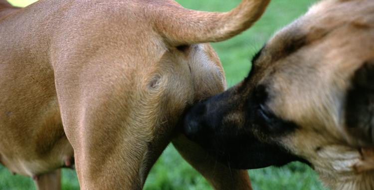 Собака обнюхивает другую собаку