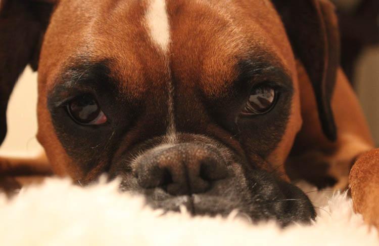 У собаки болит живот