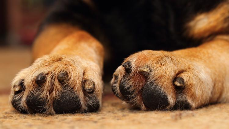 Лапы собаки