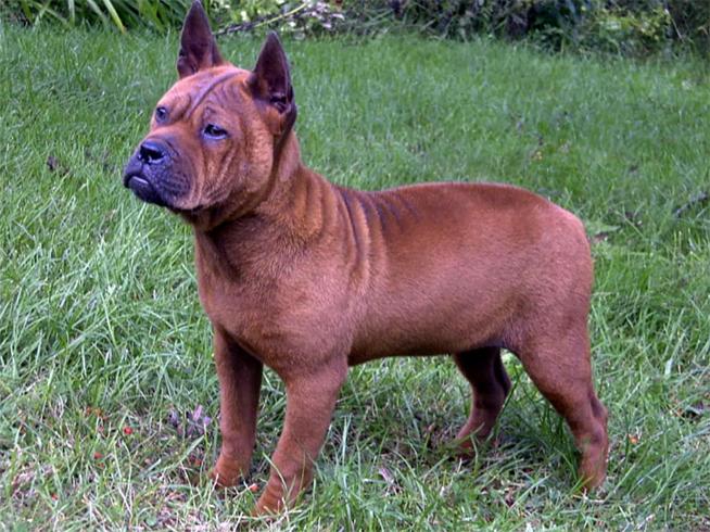 Китайская собака чунцин стоит и смотрит