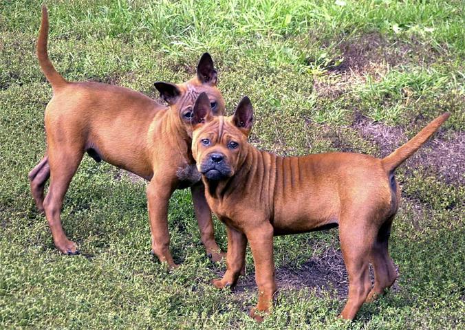 Китайская собака чунцин - парочка
