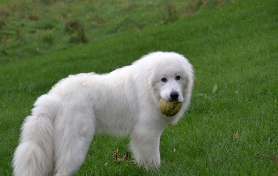 Картинки пиренейской горной собаки