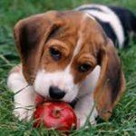 Яблоки собакам: можно ли давать, польза и вред