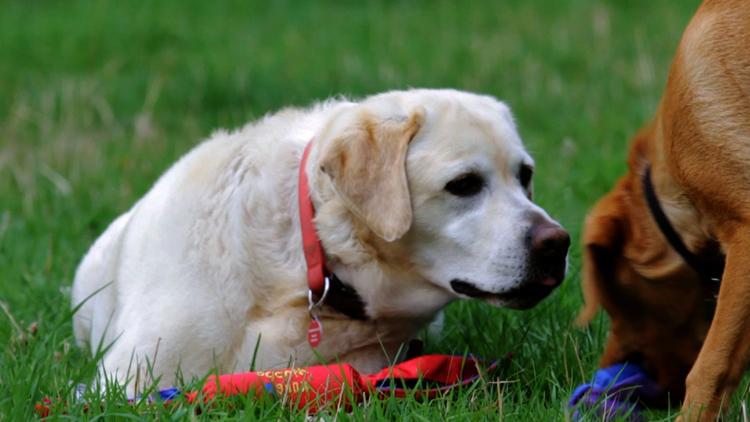 Собака с артритом
