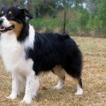 Австралийская овчарка (аусси): описание, фото, цена