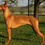 Фараонова собака: характеристика и описание породы, фото