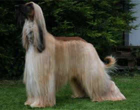 Афганская овчарка