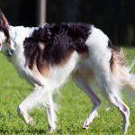 Русская псовая борзая собака: описание, характер, фото