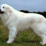Пиренейская горная собака: описание породы и характера, фото
