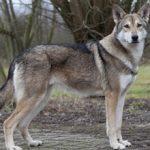 Волчья собака Сарлоса: описание, характер, фото