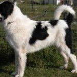 Буковинская овчарка: описание, характер, уход, фото