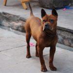 Китайская собака чунцин: характеристика, характер, фото