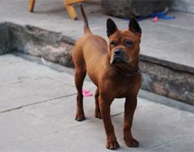 Китайская собака чунцин