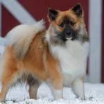 Исландская собака: описание и характеристика породы