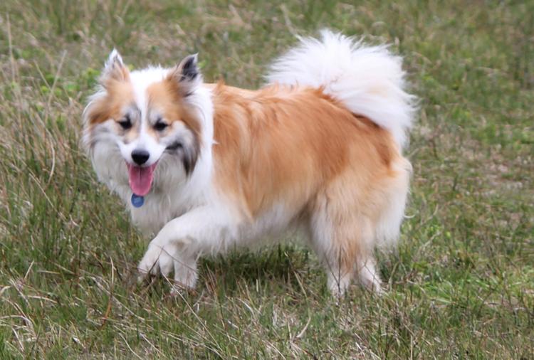 Исландская собака на траве