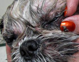 Можно ли собаке промывать глаза чаем