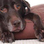 Колики у собаки: симптомы и лечение