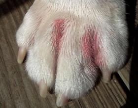 У собаки опухла лапа