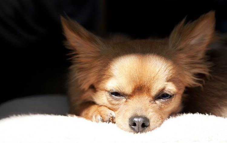 Острый конъюнктивит у собаки