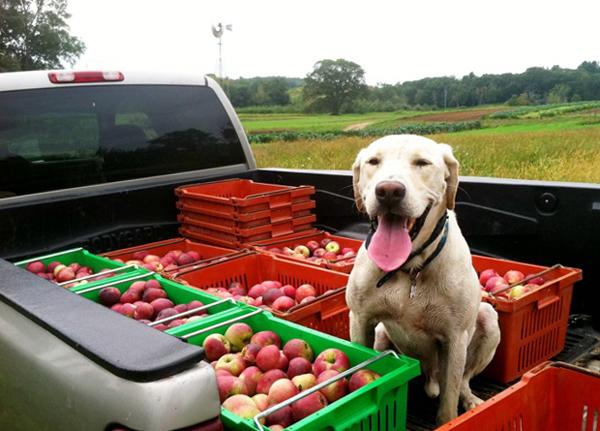 Собака и много яблок