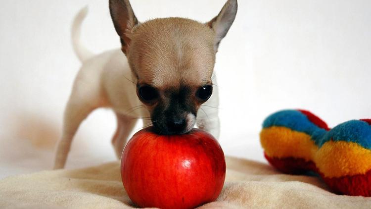 Собачка с яблоком