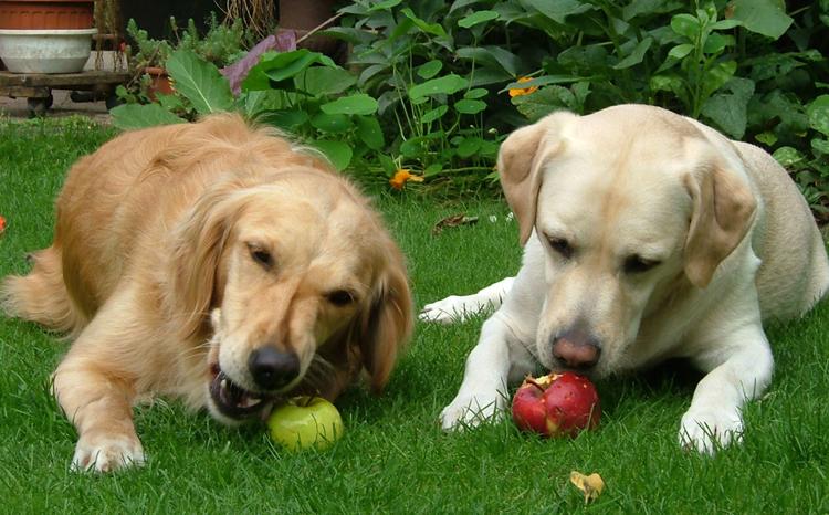 Собаки и яблоки
