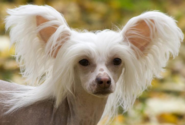 Лицо хохлатой собаки