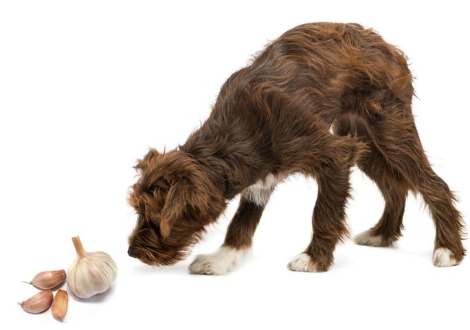 Собака и чеснок