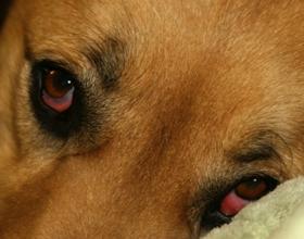 Киснут глаза у собаки