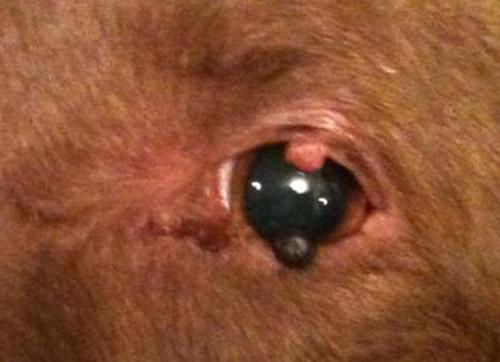 Папиллома на глазу у пса