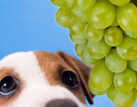 Можно ли давать виноград собаке