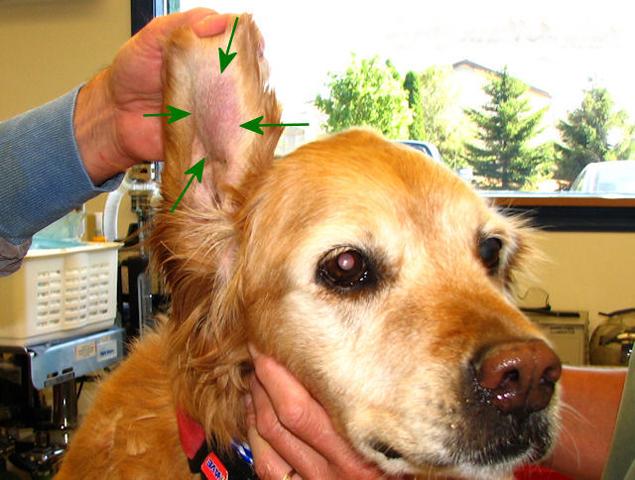 Ушная гематома у пса