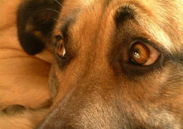 Собака с больными глазами