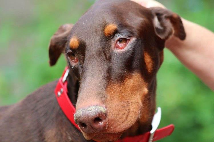 Собака с конъюнктивитом